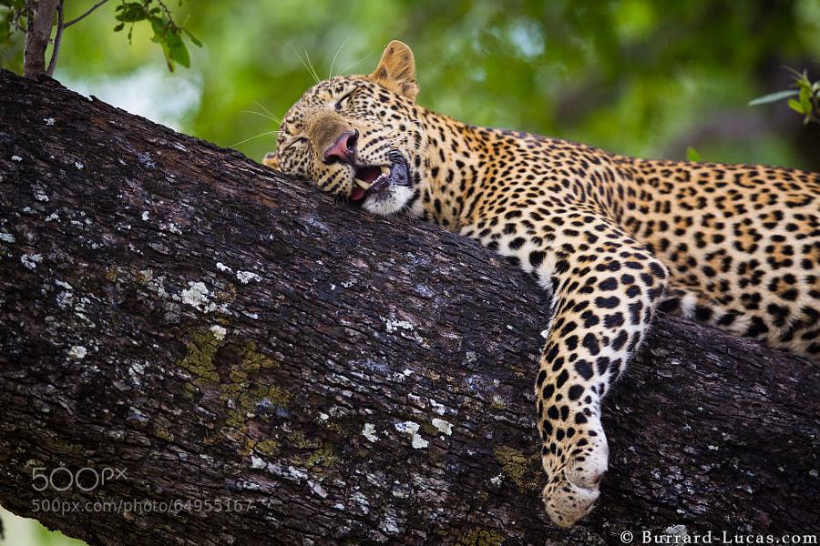 Leopard sleeping in a tree. South Luangwa, Zambia.