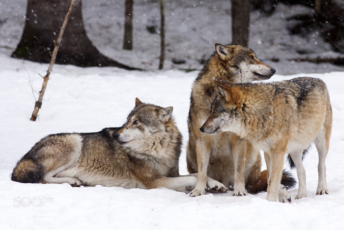 Photograph Wolves by Vittorio D'Apice on 500px