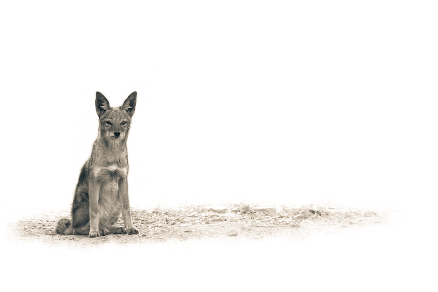 Photograph The Jackal by Mario Moreno on 500px