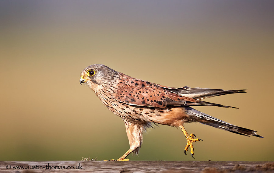 Kestrel on patrol...
