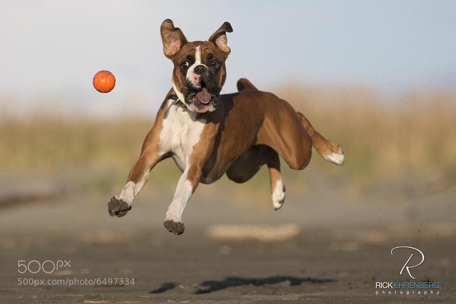 This is my boxer, Charlie Brown, having a great time at the ocean playing ball.