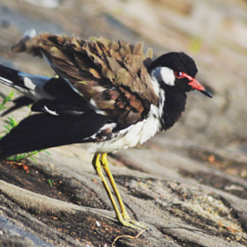 Red Wattled Lapwing by Chandni Dua (chandnidua)) on 500px.com