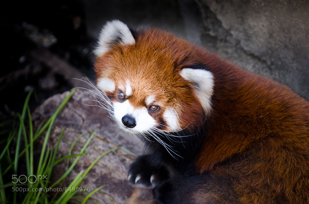 Photograph A Red Panda by Richard Harrington on 500px