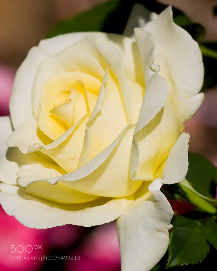 Photograph Yellow Rose by Mike Oberg on 500px