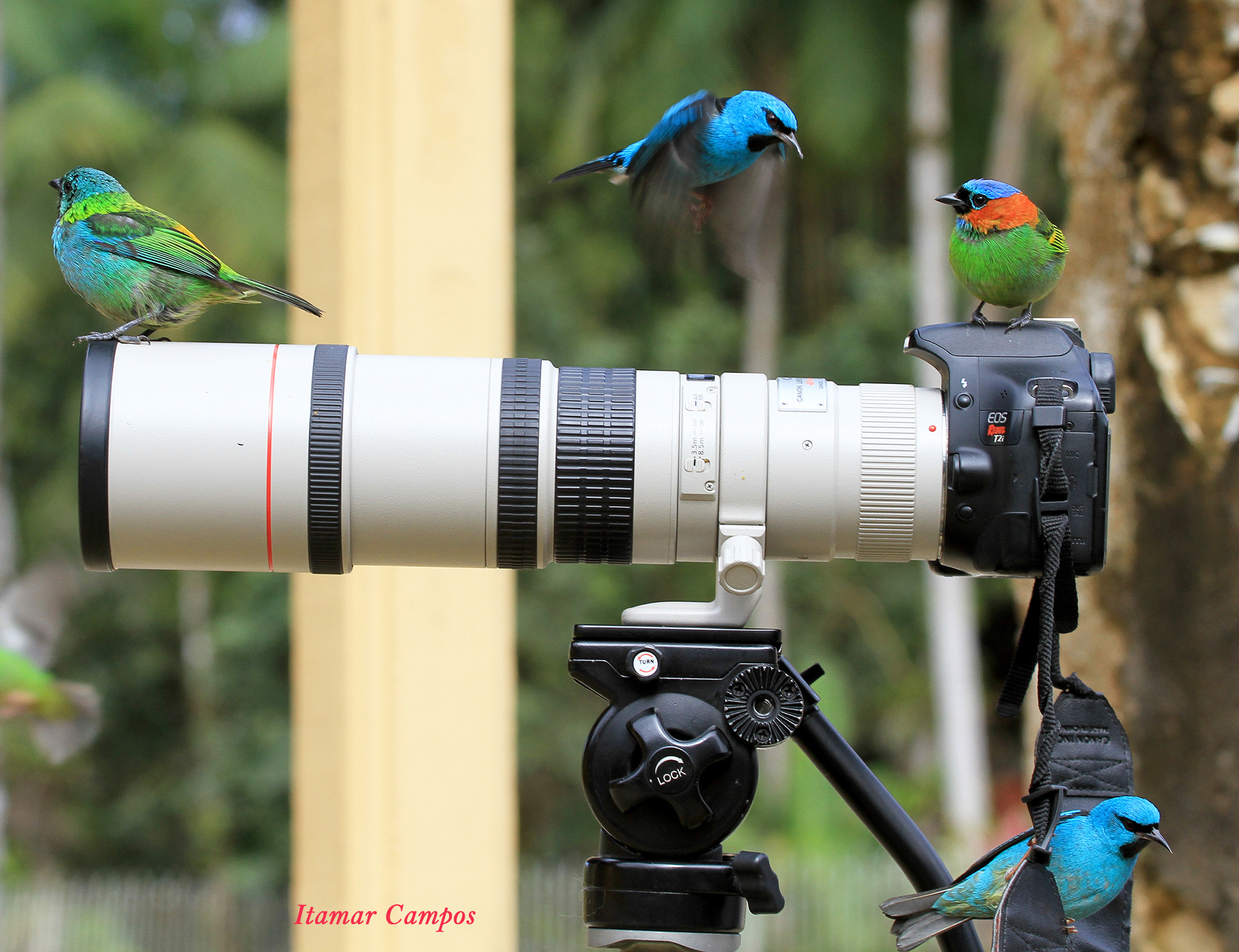 Photograph Tanagers! by Itamar Campos on 500px