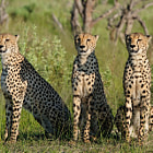 ������, ������: Cheetah Brothers