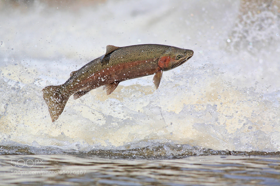 Male Rainbow Trout by mikebons1