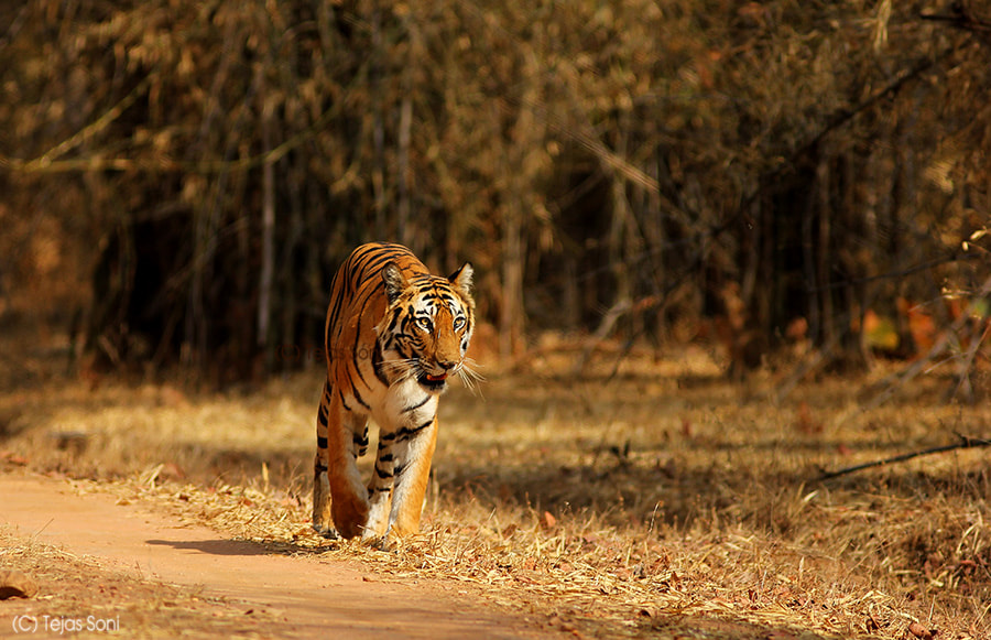 Photograph tigress and her terrain by Tejas Soni on 500px