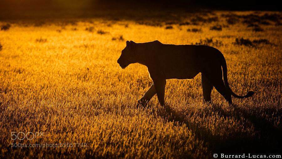 A lioness backlit at sunrise, photographed recently at Kalahari Plains, Botswana.