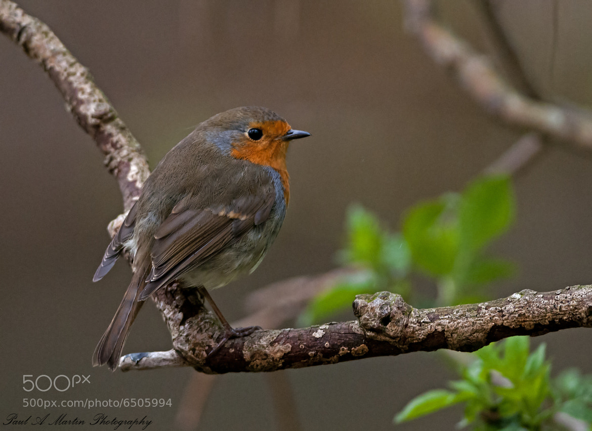 Photograph Robin by Paul Martin on 500px