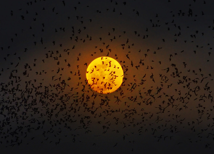 Photograph Bats under the moonlight by Weerapong Chaipuck on 500px
