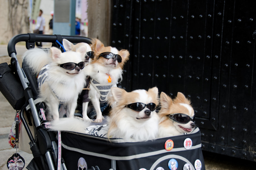 Pram with dogs wearing sunglasses by Andreas Altenburger on 500px.com