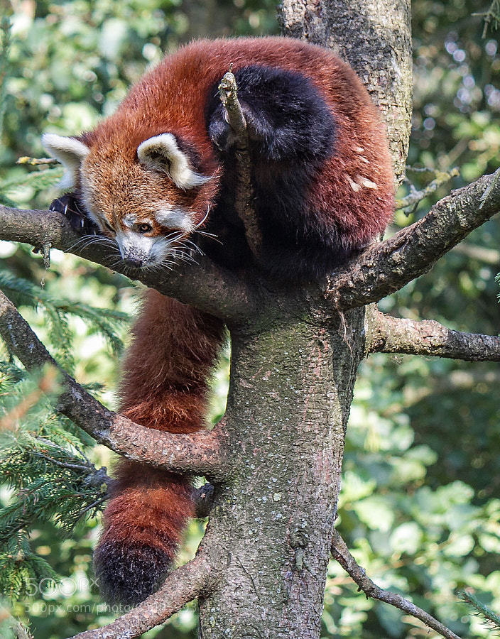 Photograph Red panda by SylvieS on 500px
