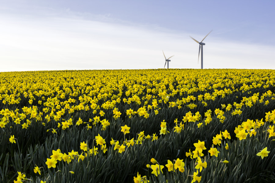 daffodils by Kelvin Rumsby on 500px.com