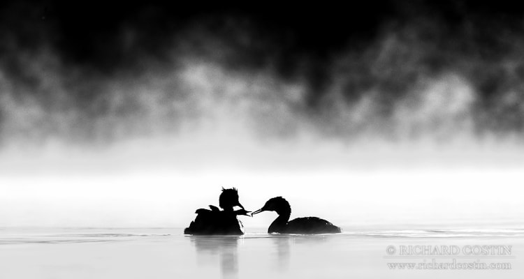 Photograph Great Crested Grebes silhouette in early mist by Richard Costin on 500px