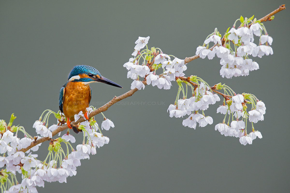 Photograph Kingfisher by Ian Schofield on 500px