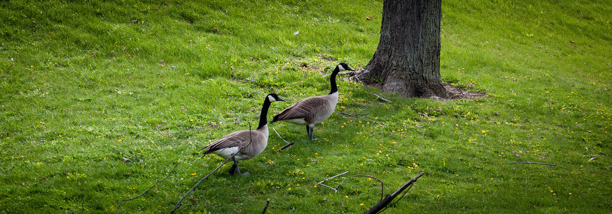 Photograph Geese by Nick Tsouroullis on 500px