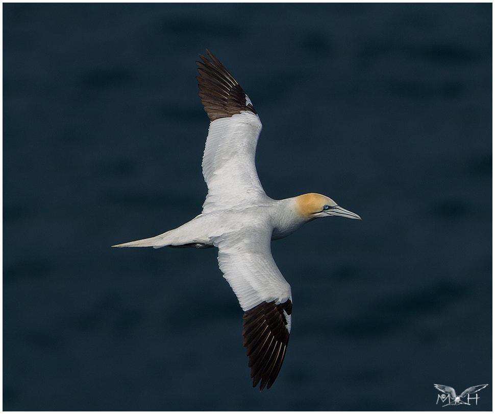 Photograph Gannet by Malcolm Harcus on 500px