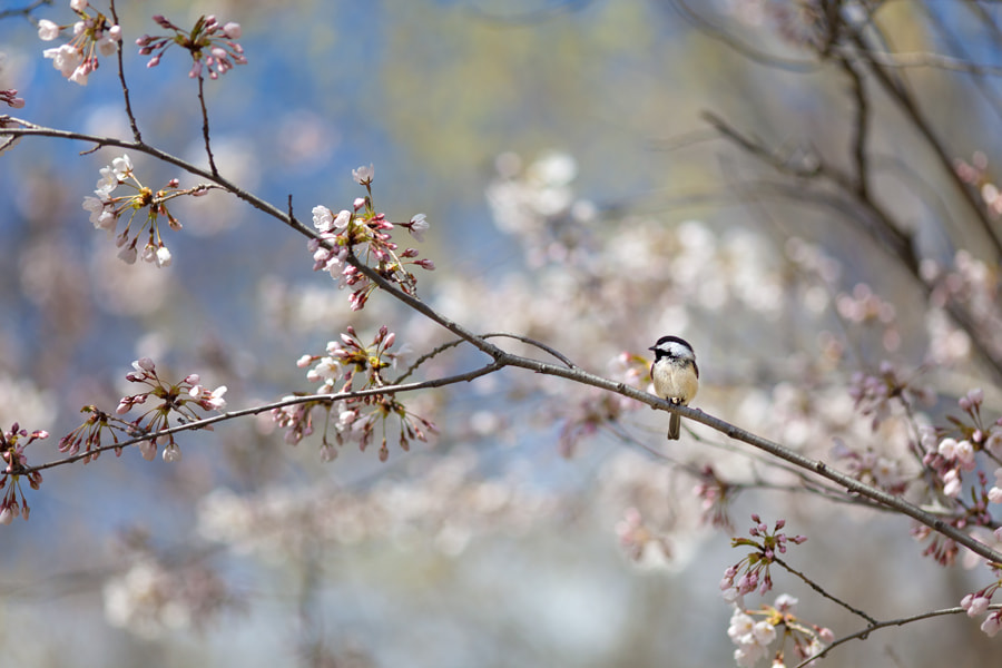Photograph Cherry Blossoms and a Chickadee by Miles Storey on 500px