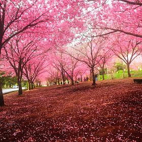 Good morning Sakura by Brian Hsu (BrianHsu)) on 500px.com