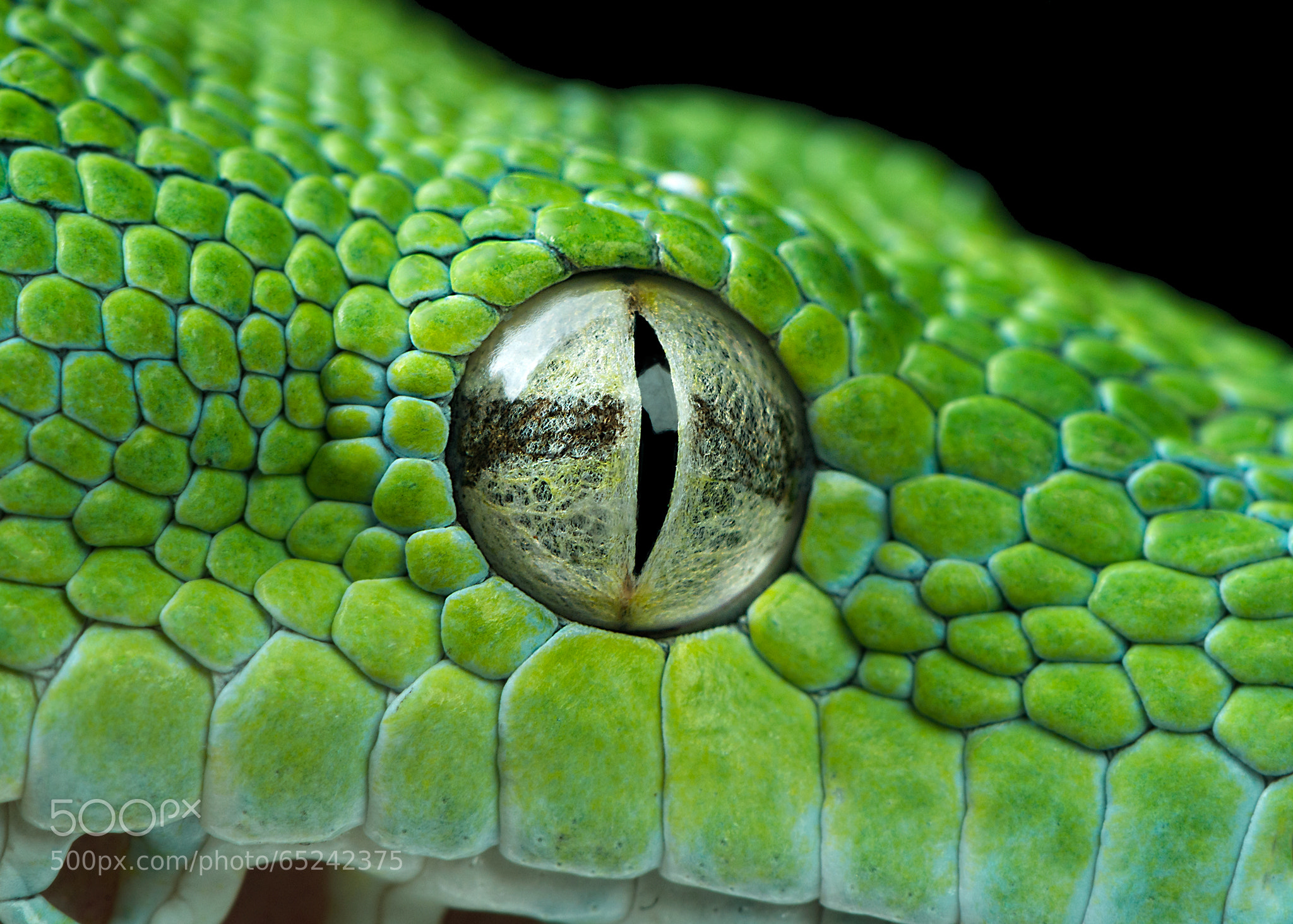 snake eye closeup by henrik vind 500px. Black Bedroom Furniture Sets. Home Design Ideas