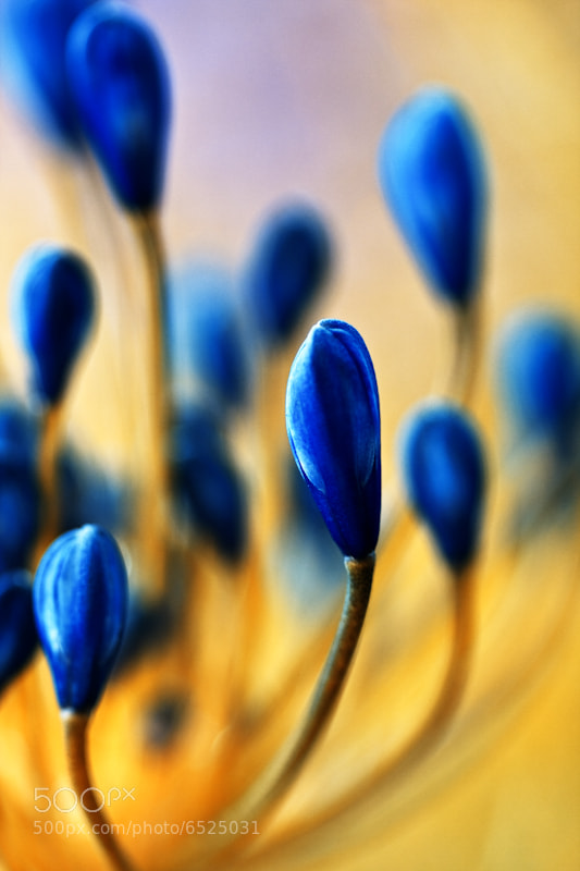 Photograph Agapanthus Fires Blue Color abstract photos : Blue is Bleu