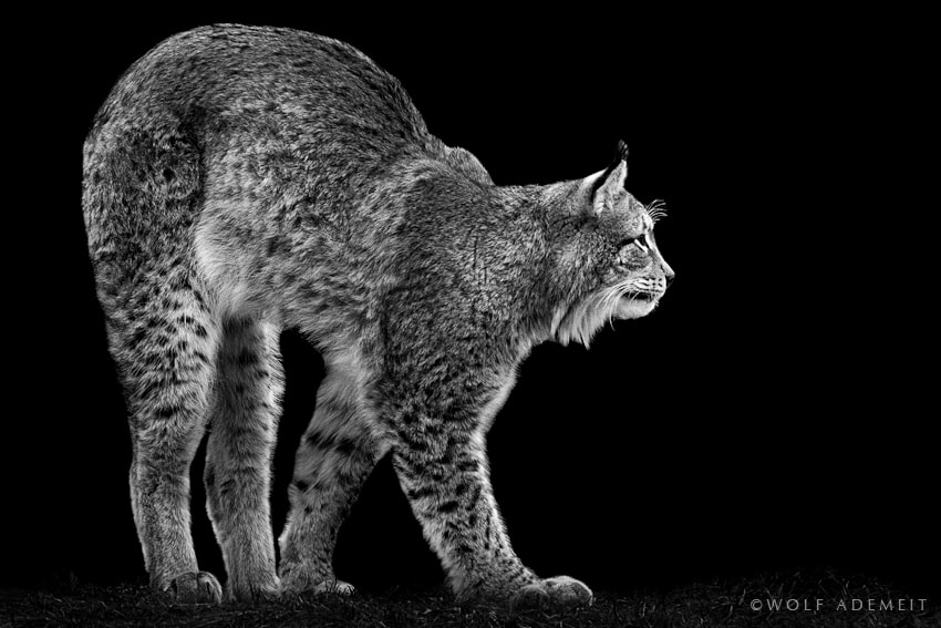 Photograph BIG CAT by Wolf Ademeit on 500px
