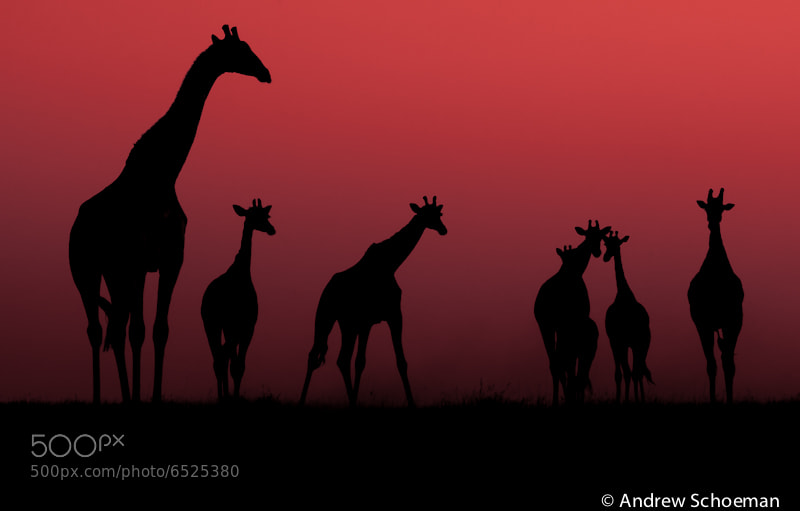 Photograph Giraffe Sunset by Andrew Schoeman on 500px