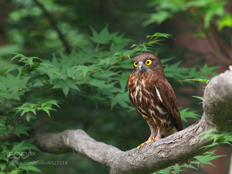 Photograph Brown Hawk Owl by hyongchol kim on 500px