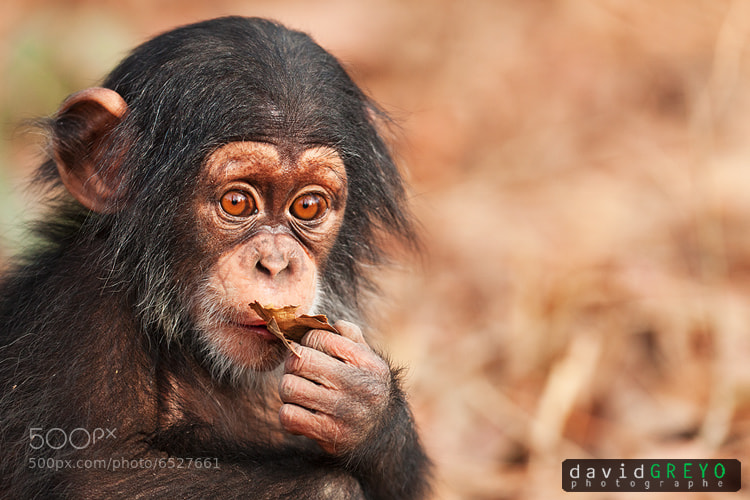Photograph Chimp by David Greyo on 500px