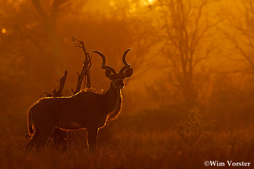 Photograph Kudu bull sunrise by Wim Vorster Photography on 500px