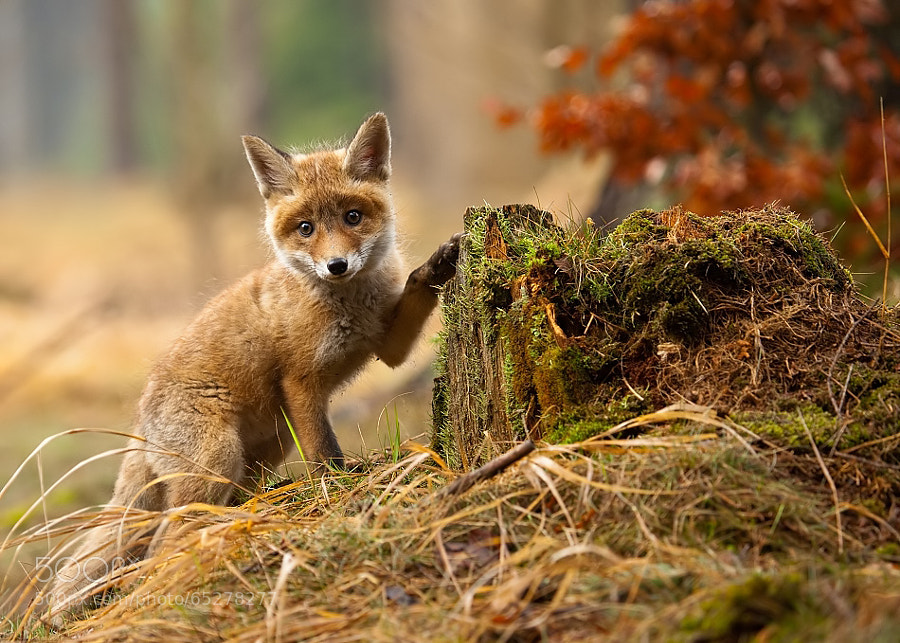 Photograph Fox by Robert Adamec on 500px