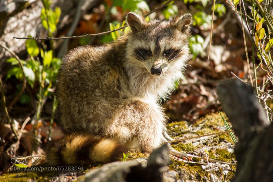 Old Raccoon