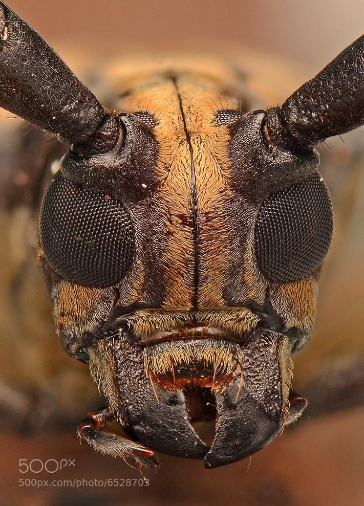 Photograph Longhorn Beetle by Simon Shim on 500px