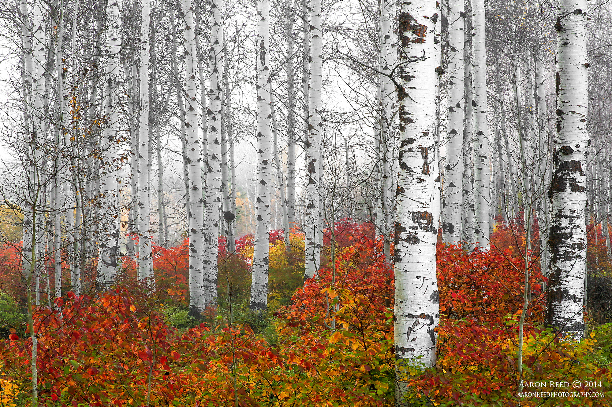 Photograph Echoes Of Fall - Birch Trees Fall Color Washington State by Aaron Reed on 500px