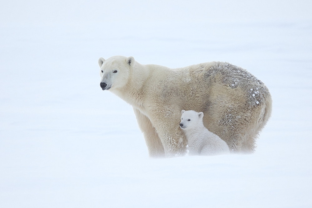 Photograph Polar Bears ( sow with cub ) by peter  makuch on 500px