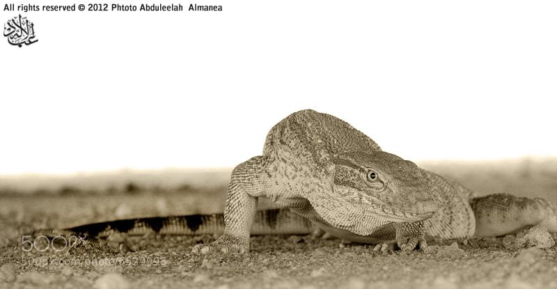 Photograph Desert monitor  by Abduleelah Al-manea on 500px