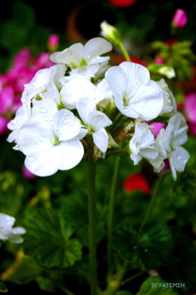 Photograph A bunch of Geranium! by Fatemeh Za on 500px