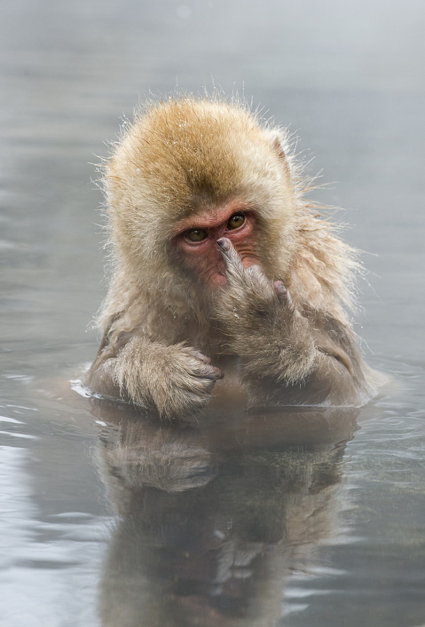 Japanese Macaque showing middle finger by Jari Peltomäki on 500px.com