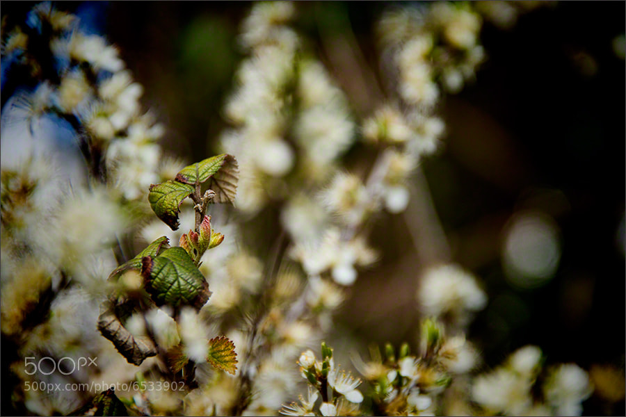 Photograph Spring Blossom 2 by Andrew Barrow LRPS on 500px