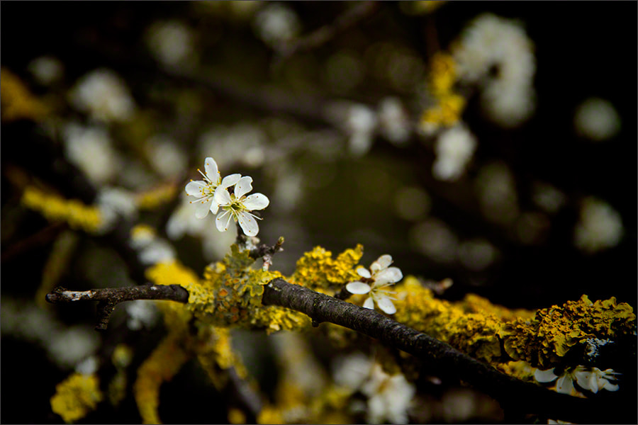 Photograph Spring Blossom 4 by Andrew Barrow LRPS on 500px