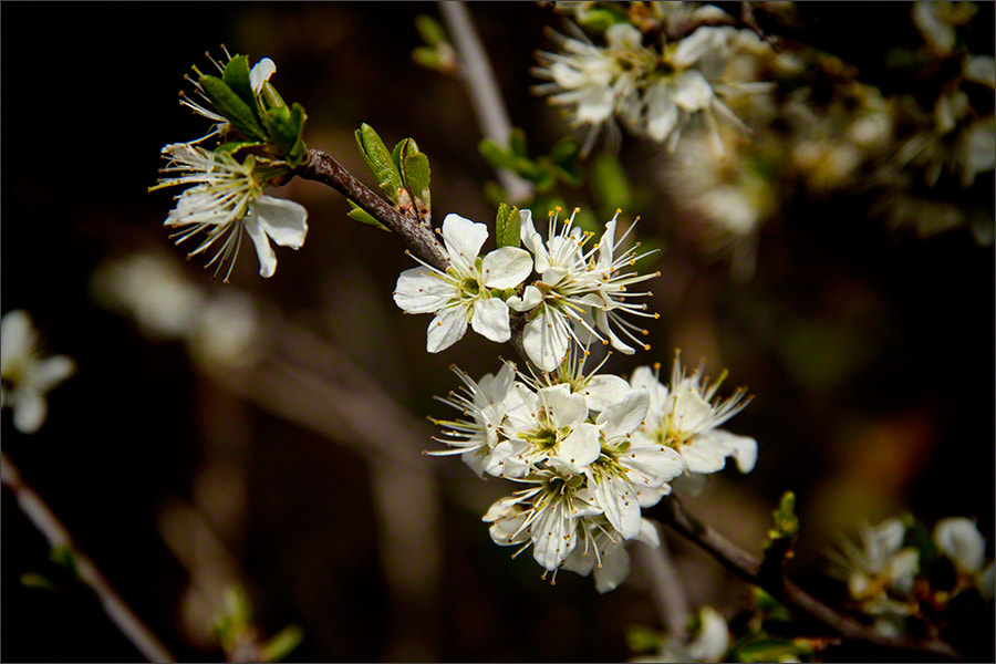 Photograph Spring Blossom 1 by Andrew Barrow LRPS on 500px