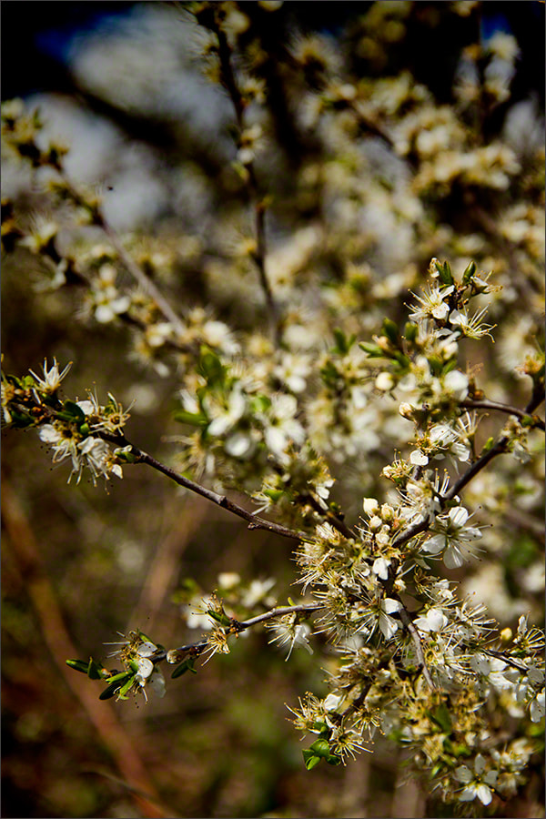 Photograph Spring Blossom 3 by Andrew Barrow LRPS on 500px