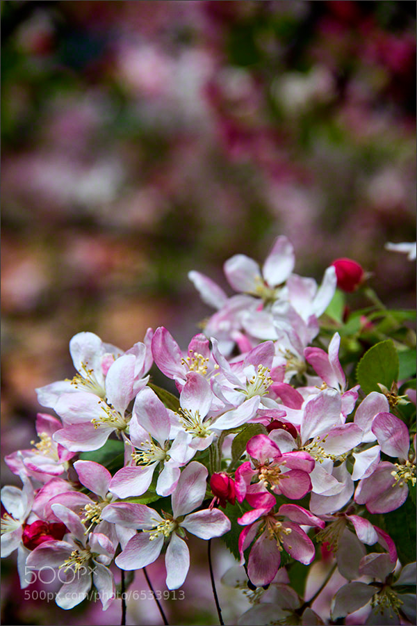 Photograph  Spring Blossom 7 by Andrew Barrow LRPS on 500px