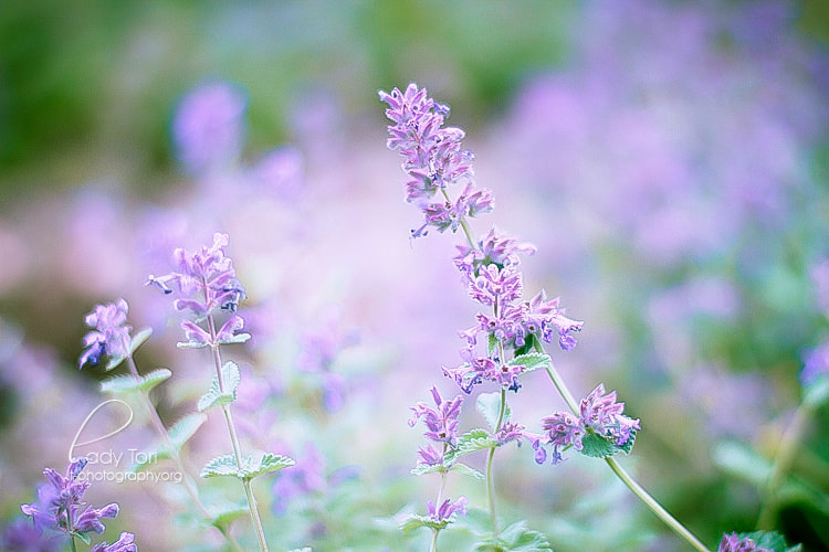 Photograph Simple Lavender by Lady Tori  on 500px