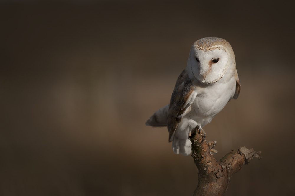 Photograph Barn Owl by Andy Astbury on 500px