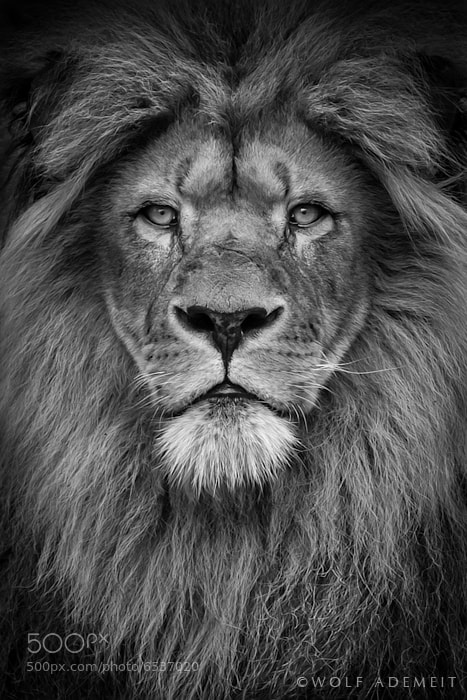 MALE LION PORTRAIT by Wolf Ademeit / 500px