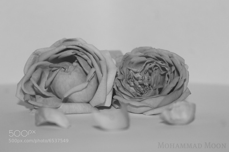 Photograph Rose B/W by Mohammad Moon on 500px