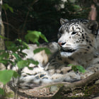 Постер, плакат: Snow leopard resting in the shadow