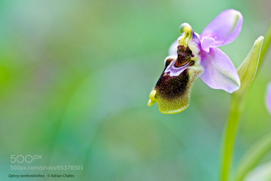 Photograph Ophrys tenthredinifera by Adrian Chafes on 500px